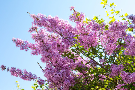 syringa: Vibrant spring background with branch of Syringa vulgaris lilac blossom at spring time in the garden on blue sky background