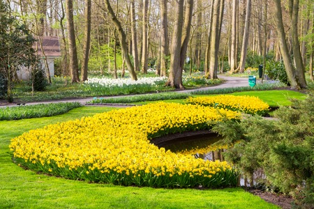 lisse: Flower bed with yellow daffodil flowers blooming in spring garden Keukenhof, Lisse, Netherlands