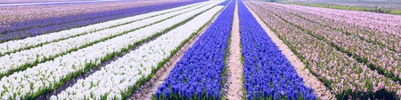 dutch typical: Typical Dutch spring flower panorama with colorful rows of Hyacinth at the field in Holland Stock Photo