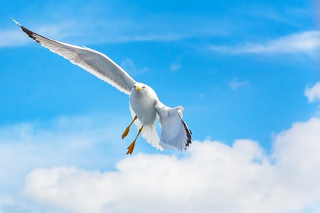 spreaded: White Fish seagull flying and making turn in blue sky with wings spreaded. Freedom changing direction concept. Place for text