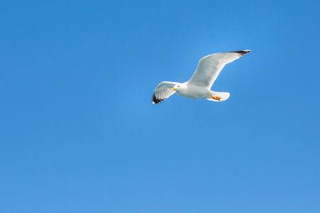 spreaded: White seagull flying in the clean blue sky with wings spreaded. Freedom concept. Place for text Stock Photo