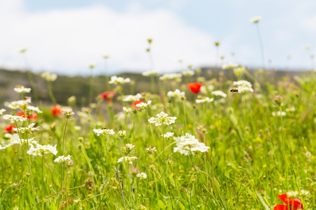 uncultivated: White and red uncultivated flowers at the field with copy space, place for text Stock Photo