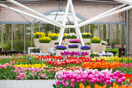lisse: Lisse, Netherlands - April 4, 2016: Colorful tulips flower blossom in pavillion of dutch spring garden Keukenhof, Lisse, Netherlands