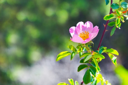 medicinal plant: Rose hip, dog rose flower. Blossoming wild rose, medicinal plant
