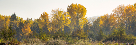 yellow trees: Foggy autumn panorama background with colorful green and yellow trees