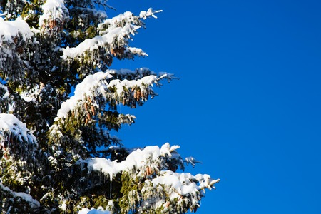 pine tree branch: Winter Christmas holiday background with snowy pine tree branch, pine cones, blue sky, copy space
