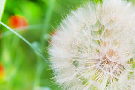 Dandelion abstract closeup on green, tranquil texture background Stock Photo