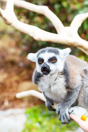 cunning: Cute cunning Ring-tailed lemur aka Lemur catta  on the branch showing tongue and smiling, close up portrait with copy space Stock Photo