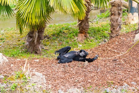Black sulawesi crested macaque relaxing under palm tree