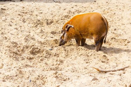 digging: Orange color red river hog digging the sand