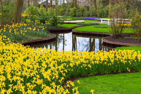 Flowerbed with yellow daffodil flowers blooming in keukenhof spring garden and river view Stock Photo