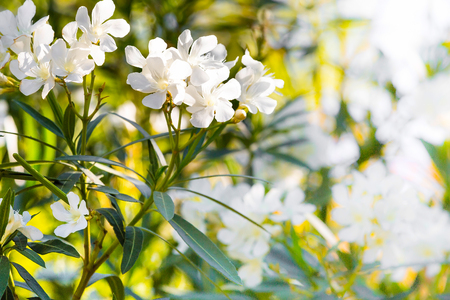 White oleander flowers spring or summer holiday background stock stock photo white oleander flowers spring or summer holiday background mightylinksfo