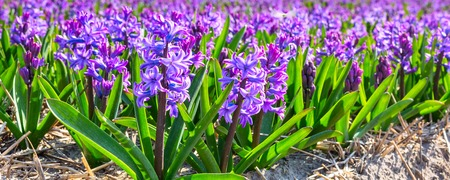 floristics: Spring background with vibrant closeup purple lilac hyacinth flowers on the field