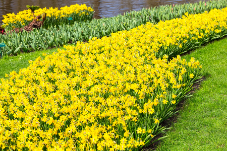 Flowerbed with yellow daffodil flowers blooming in keukenhof spring garden Stock Photo