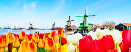 Holland background panoramic banner with tulips and green windmill in traditional village