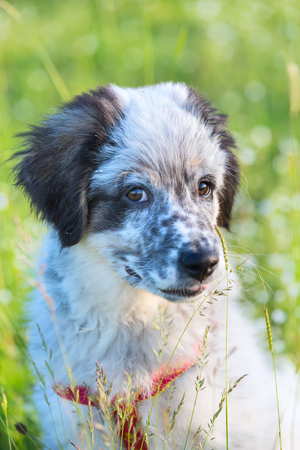 smooth: Cute white and black bulgarian sheep dog puppy sitting in the grass closeup