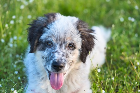 smooth: Cute white and black bulgarian sheep dog puppy with red tongue in the grass closeup portrait