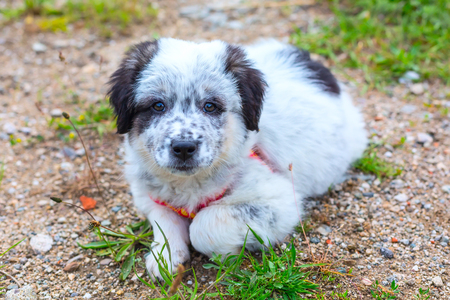 smooth: Cute white and black bulgarian sheep dog puppy in the grass closeup