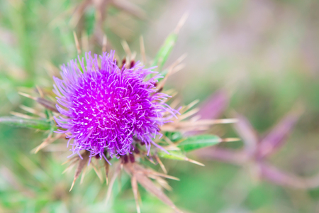 Purple Milk Thistle flower close-up with copyspace