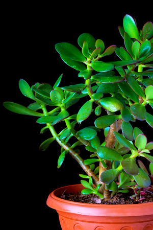 Crassula ovata or money tree succulent plant in flower pot close up on black background