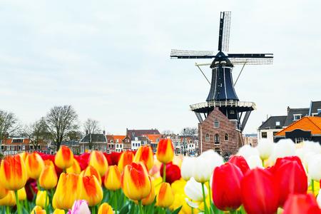 Holland landschap met tulpen en windmolen, Haarlem