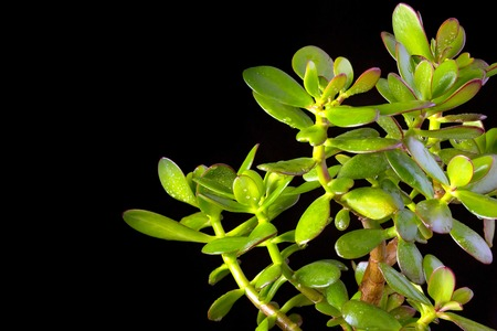 Crassula ovata or money tree succulent plant close up on black background, copy space Stock Photo