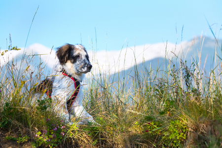 white and black fuzzy dog sitting in green grass and high mountains at background, freedom travel concept, copy space Stock Photo
