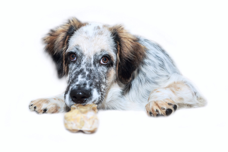 White, black and brown color fuzzy dog with bone isolated on white background, copy space