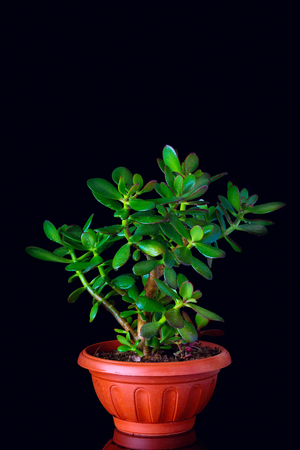 jade plant: Crassula ovata or money tree succulent plant in flower pot close up on black background with reflection, copy space Stock Photo