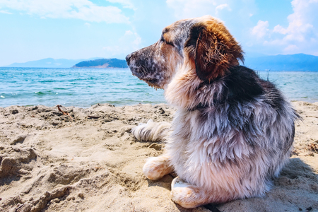 Portrait of white, brown and black large breed dog admiring relaxing at the beach, close-up portrait