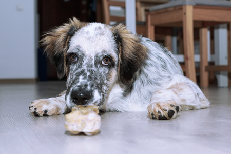 White, black and brown color fuzzy dog with bone on the floor, copy space