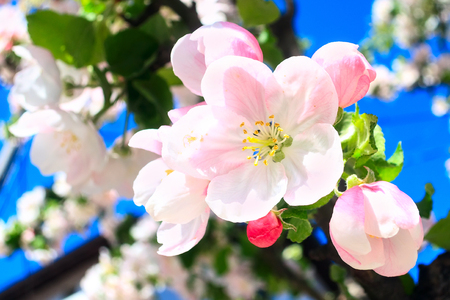 The branch of white and pink apple flower blossom spring background, close-up macro