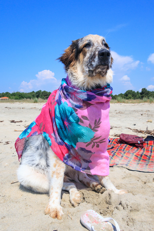 Portrait of white, brown and black large breed dog in colorful pink clothes relaxing at the beach