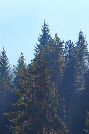 Pine trees forest stylized silhouette photo background