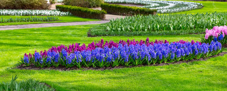 Colorful blue, purple and lilac hyacinth flowers blossom in dutch keukenhof garden, Holland