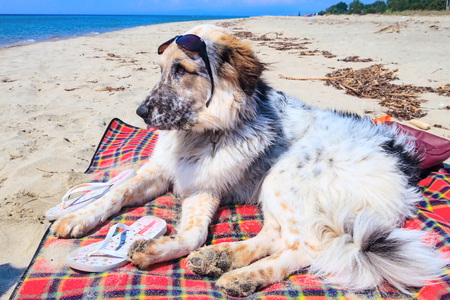 Portrait of large breed dog with sunglasses relaxing at the beach on blanket mat