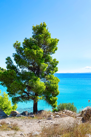 Summer vacation background with turquoise sea water bay and pine tree in greek island, Greece
