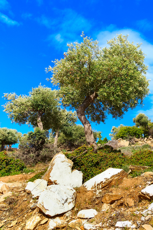 Summer vacation background with greek island Thasos, olive trees and blue cloudy sky, Greece