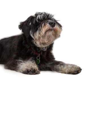 Miniature schnauzer cute black and silver puppy lying, close-up portrait isolated on white background