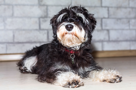 Miniature schnauzer cute black and silver puppy lying, close-up portrait at home