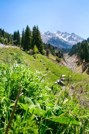 spring Medeu landscape with snow mountain peaks, pine trees near Almaty, Kazakhstan