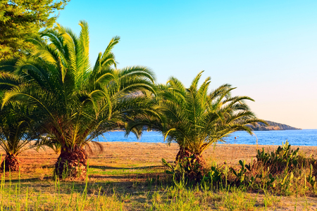 Summer background with palm tree on the sandy beach and sea view in Sithonia, Greece Stock Photo
