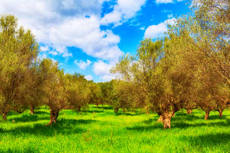 Olive trees plantation and cloudy sky, Greece, Peloponnese Stockfoto