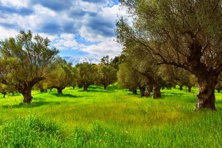 Plantacja drzew oliwnych i śniegowe szczyty górskie wiosna tło, Grecja, Peloponez