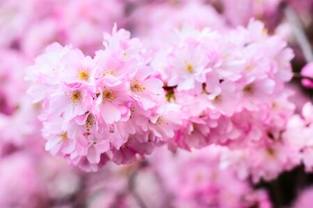 holiday background, pink cherry flower blossom, sakura flower with copyspace