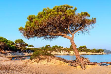 Vourvourou, Sithonia, Greece, Halkidiki, mediterranean landscape of Karidi beach. Pine tree on coast