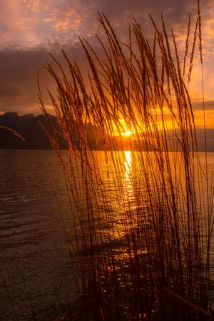 Tranquil sunset lake Geneva, Switzerland with reed flowers, glowing sun over a mountains