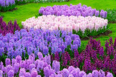 Keukenhof spring garden colorful purple and lilac hyacinth flowers blossom, Netherlands