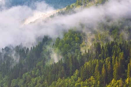 Pine trees forest silhouette with low fog clouds, panoramic nature background