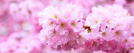 Panorama banner background with beautiful pink flower cherry blossom, sakura Stock Photo
